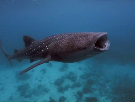 Oslob – Philippines, Homage for the whale sharks