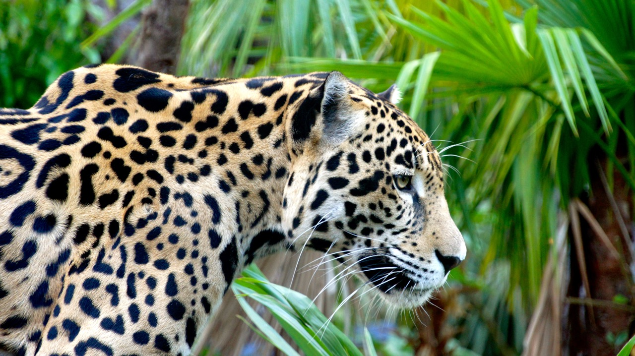 Belize Zoo - tiger
