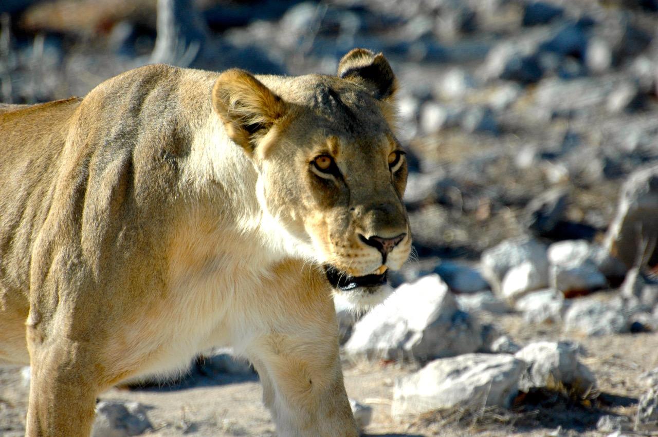 Trip to Namibia - lion 1