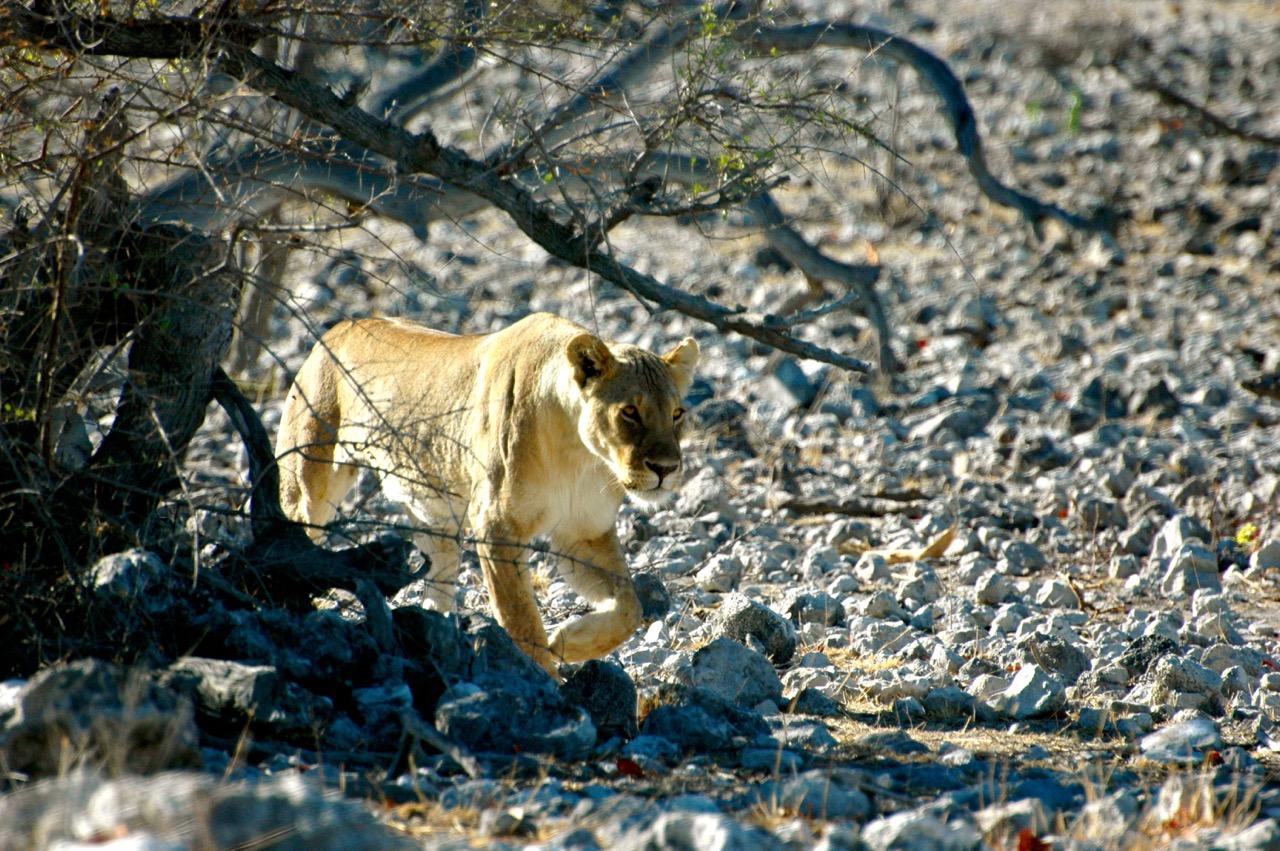 Trip to Namibia - lion