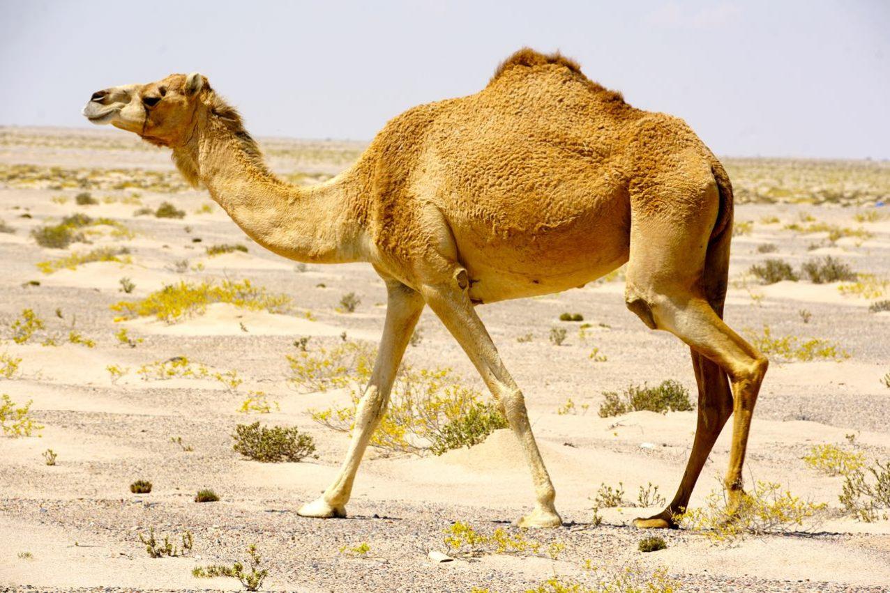 Camel in Omani, Oman