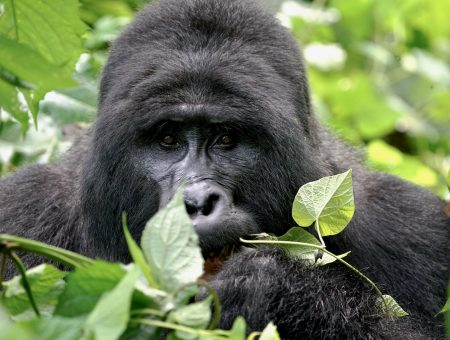 Uganda, the thriving corruption of the rainforest